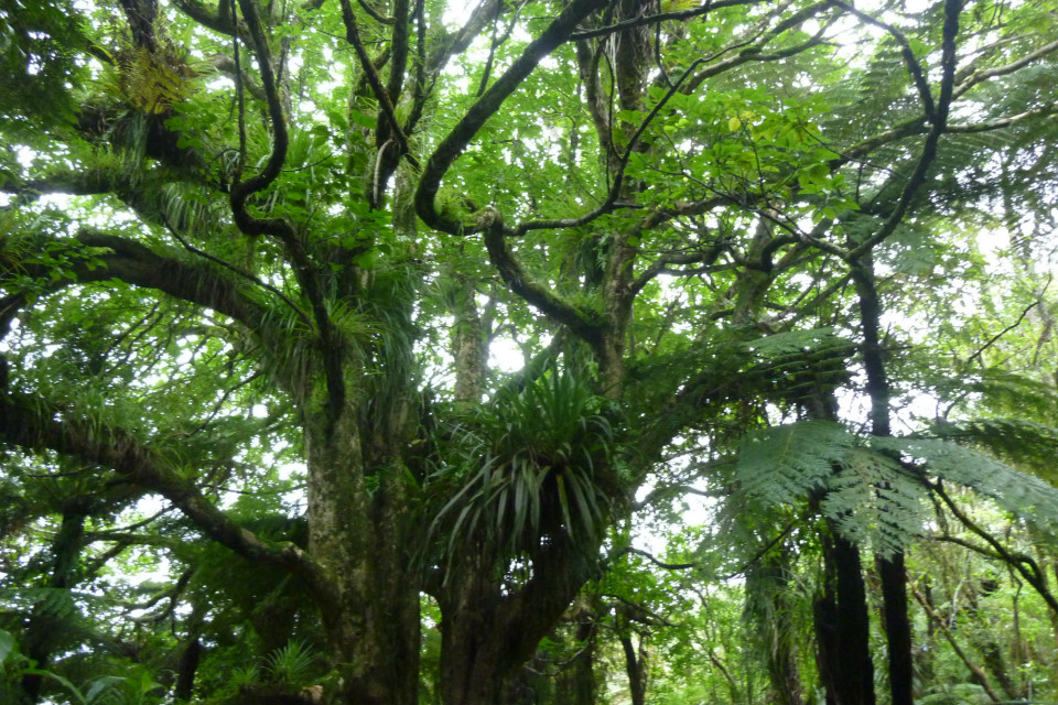 Puriri tree canopy